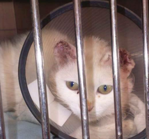 white cat with badly burned ears sitting in a cage at the vets